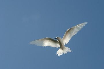 Feenseeschwalbe / Fairy Tern (White Tern)