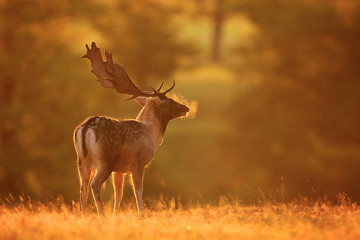 Fallow deer buck on a cold misty morning Wall mural