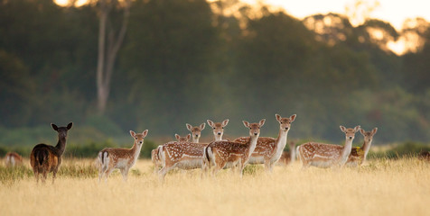 Wall Mural - Group of fallow deer