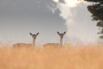 Two fallow deer does