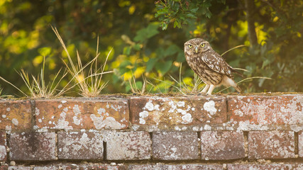 Fototapete - Little owl on an old wall