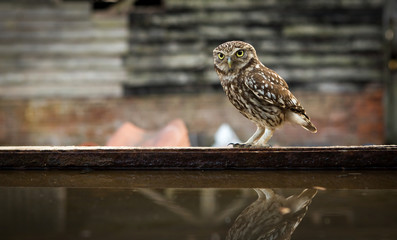 Fototapete - Little owl next to some water in a junk yard