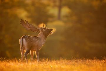 Wall Mural - A fallow deer buck calling
