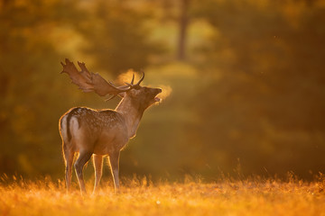 Fotomurales - A fallow deer buck calling