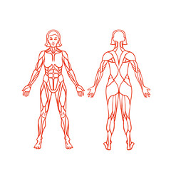 Anatomy of female muscular system, exercise and muscle guide