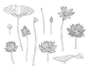 Engraving hand drawn illustration of lotus flower