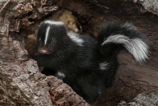 Baby Striped Skunk (Mephitis mephitis) in Log