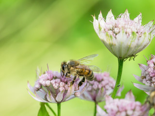 Honey bee sucking nectar from a red astrantia flower