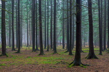beautiful forest with tall fir trees in autumn