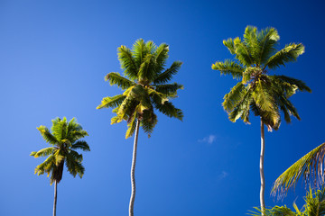 Kokospalmen auf La Digue, Seychellen