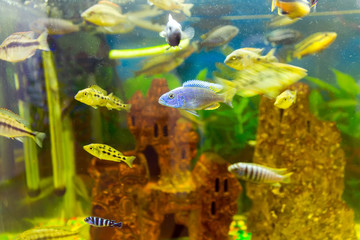 Malawi cichlids. Fish of the genus Cynotilapia