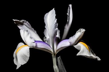 iris flower on a black background
