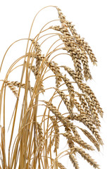 ears of ripe wheat on a white background