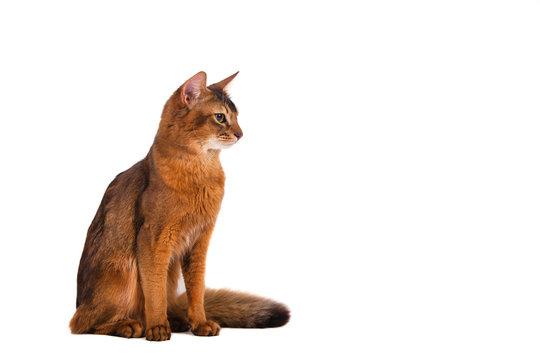 Somali cat on on white background. Cat sitting.