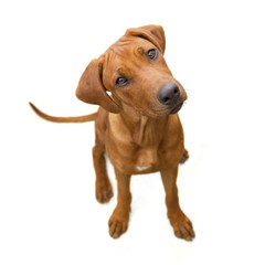 Young reddish dog from above, head, sideways, isolated  on white  background