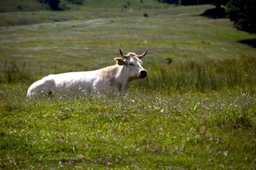 Il riposo della mucca