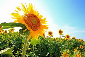 Spoed Foto op Canvas Zonnebloem 夏空にひまわりに太陽