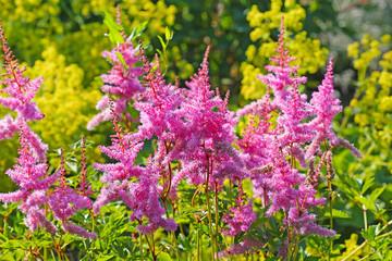 Астильба розовая ( Astilbe
