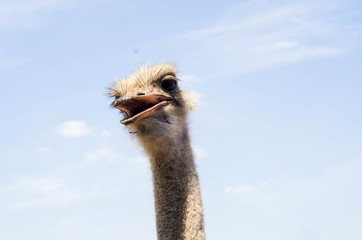 Ostrich head close up at the ostrich farm. Ostrich or type is on