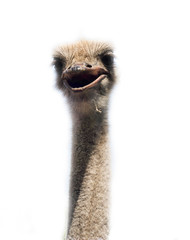 Ostrich head close up isolated on white
