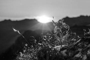 Fototapete - Edelweiss in den Alpen in schwarz weiss