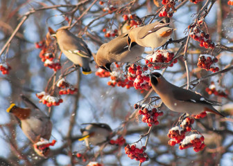 Waxwings on the branch of mountain ash