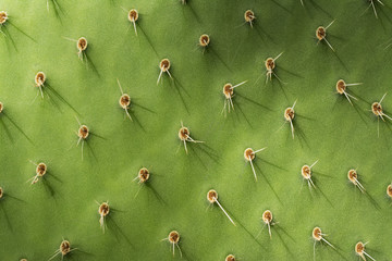 Prickly Pear Cactus Detail
