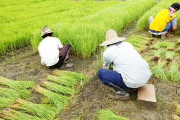 farmers with rice seedlings