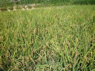 Longsheng Titian rice field