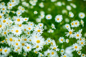 Beautifull summer flowers. Ligo time in Latvia.