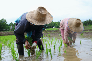 transplant rice seedlings