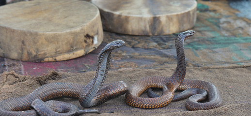 Snake charmer with Cobra-Morocco