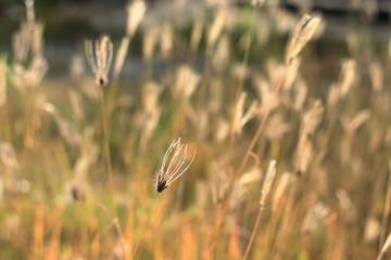 Swollen Finger Grass in the Field