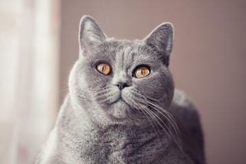 .Gray british cat lying near the window close up