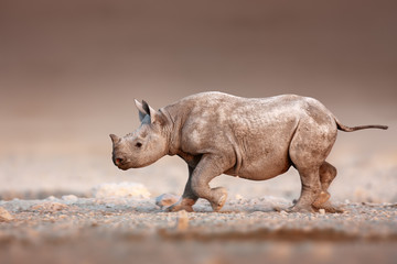 Black Rhinoceros baby running