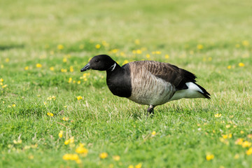 Brant Goose Feeding on Grass
