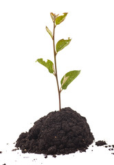 Tree growing in  soil isolated on  white background