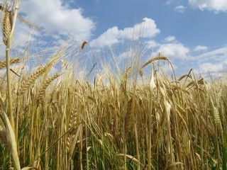 Golden ears of barley ready for harvest.