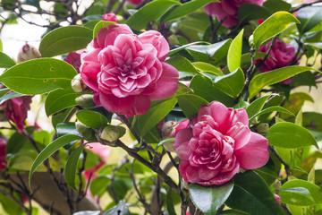 Flower camellia japonica