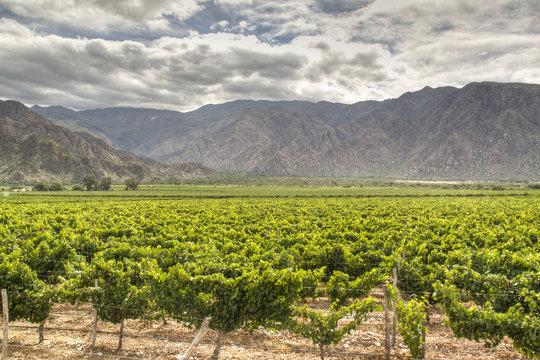 Vine yards in Cafayate, Argentina