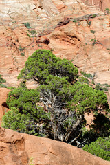 Utah Juniper in the Kolob Canyons section of Zion National Park