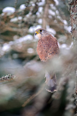 Fototapete - Common kestrel sitting in winter on coniferous tree with lichen