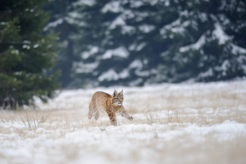 Wall Mural - Running eurasian lynx cub on snowy ground with forest in background