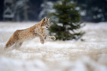 Foto op Plexiglas Lynx Running eurasian lynx cub on snowy ground in cold winter