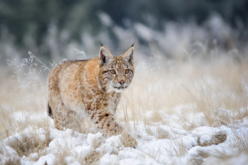 Photo on textile frame Lynx Eurasian lynx cub walking on snow with high yellow grass on background