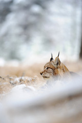 Wall Mural - Eurasian lynx sitting on ground in winter time