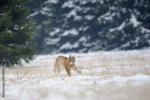 Wall mural Running eurasian lynx cub on snowy ground with forest in background
