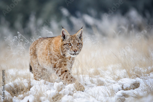 Wall mural Eurasian lynx cub walking on snow with high yellow grass on background
