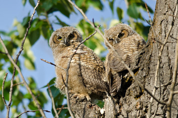 Two Young Owlets Making Direct Eye Contact From Their Nest