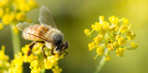 Honey Bee (Anthophila) sipping from Anise nectar. Santa Clara County, California, USA.